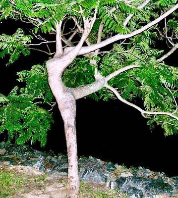 árvore mulher