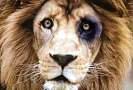 leão de olho roxo