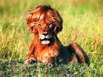 leão de peruca