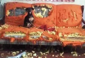 cachorro rasga sofá
